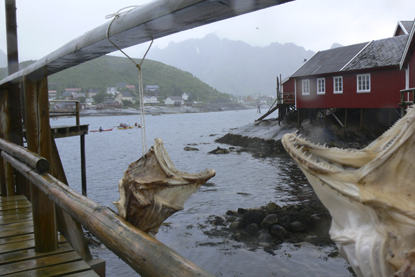 Dried cod in Lofoten with Crossing Latitudes
