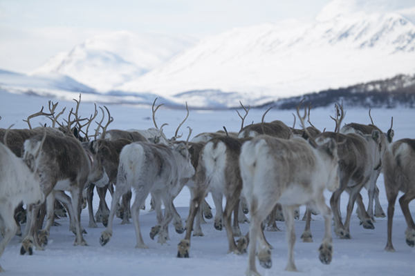 Reindeer Spring Migration in Sweden with Crossing Latitudes